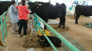 290425肉牛4